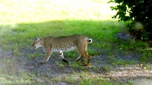 bobcat by road crop copy